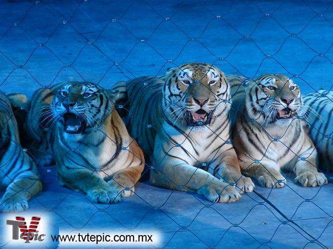 11 Tigres